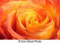 orange-rose-macro-single-orange-rose-macro-shot-stock-photos_csp6014693.jpg